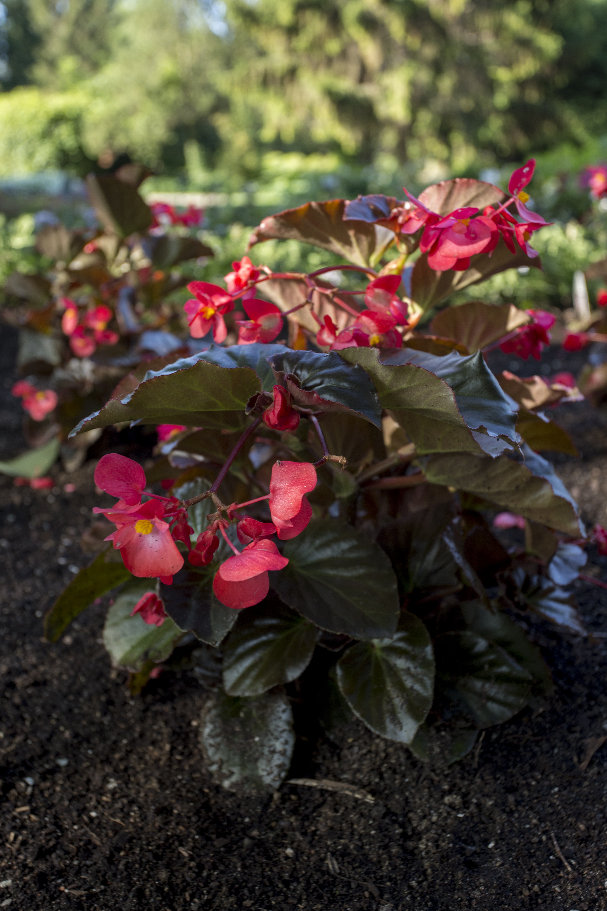 Begonia Viking™ XL Red on Chocolate All-America Selections 2019, le bégonia Viking™ XL Red on Chocolate (Sakata Seed Corporation, Japon, 2019)