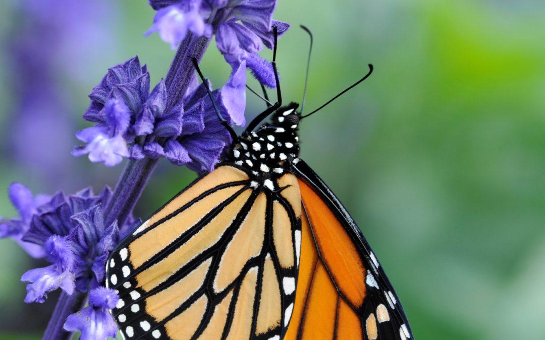 1 – L'horticulture à la rescousse des monarques! (dossier monarque, partie I)