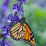 1 - L'horticulture à la rescousse des monarques! (dossier monarque, partie I)