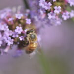 5-Les fleurs à la rescousse des pollinisateurs !