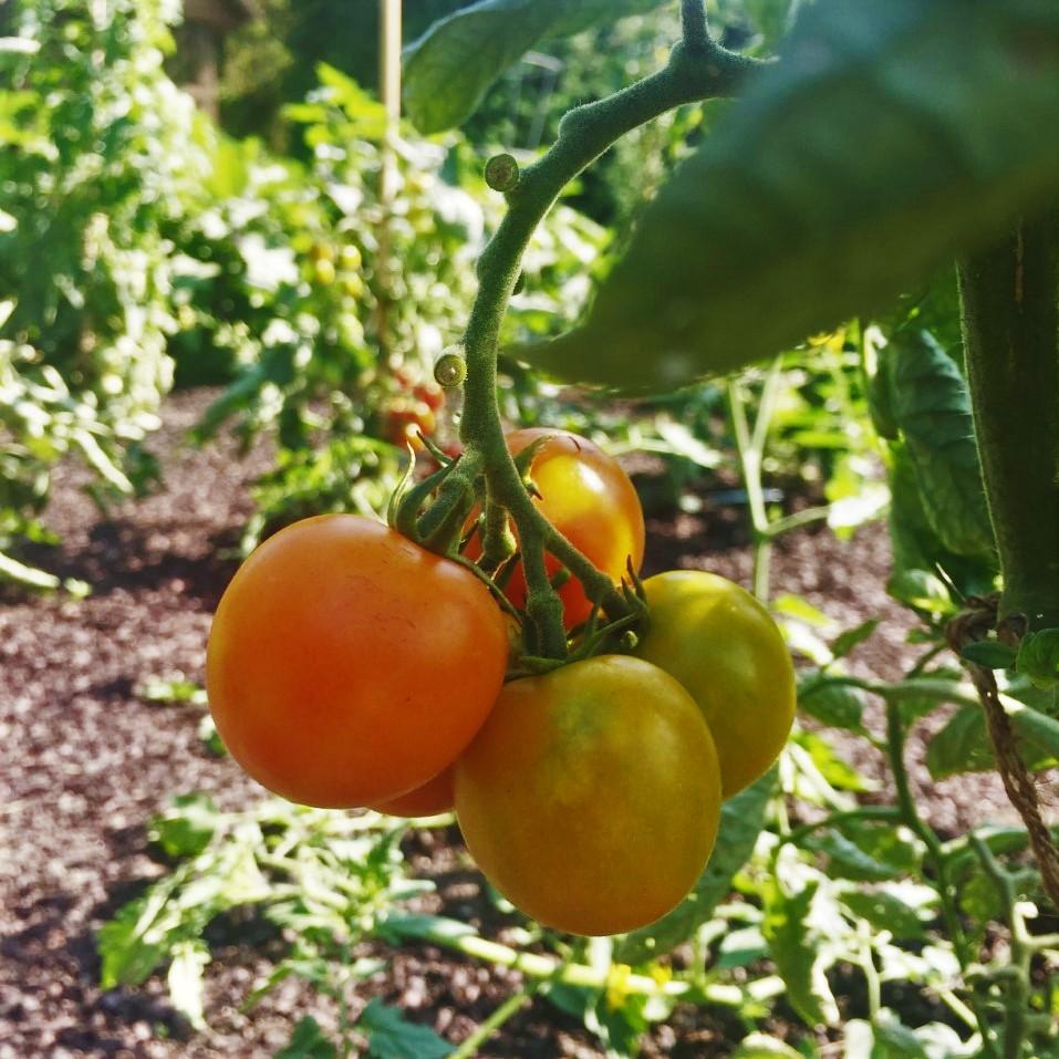 Tomate 'Orangeto' F1 La Tomate 'Orangeto' Hauteur : 45 cm (18 po) Largeur : 50 cm (20 po) Ensoleillement : Soleil
